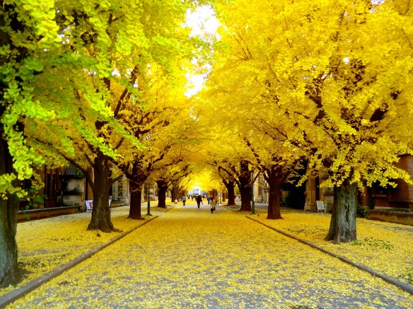 Path of gold — ginkgo leaves blanket the footway in the University of Tokyo